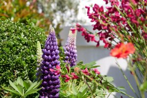 lupins-chelsea-2018