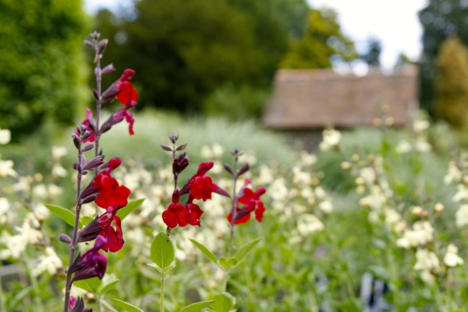 Red Salvias in focus, soft white flowers in background