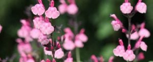 Salvia Pink Lace