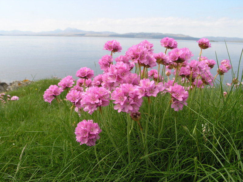 Sea pink for coastal eco gardens